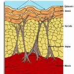 Cellulite Tissue Structure