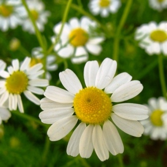 German-chamomile-skin-care